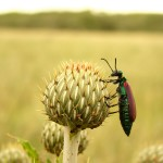 Bug on Thistle-small