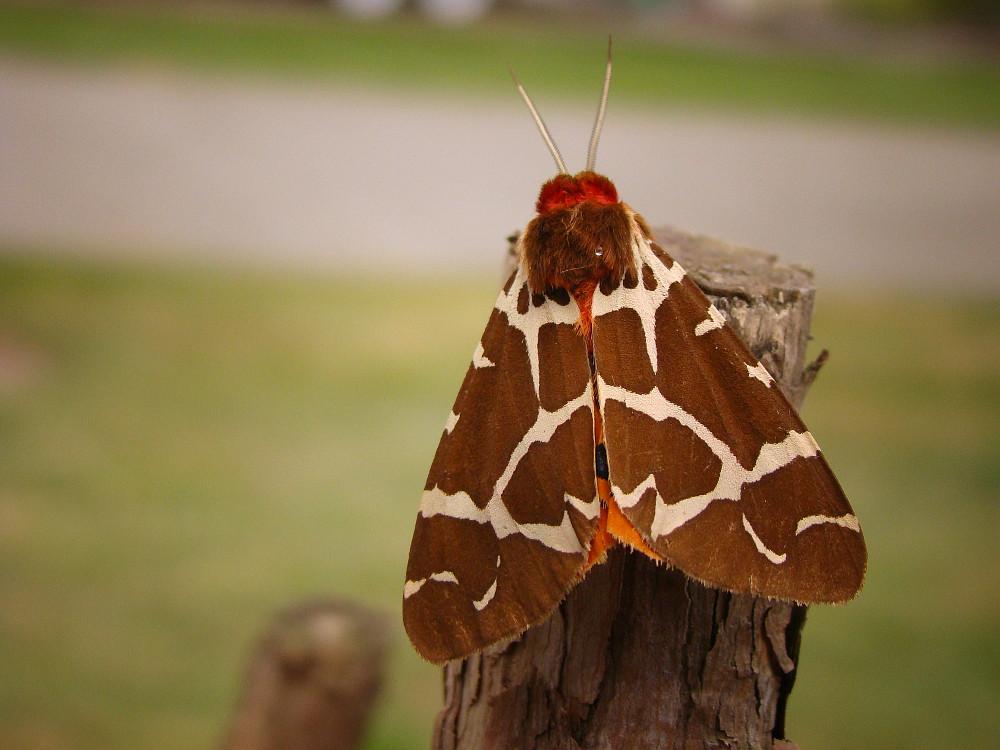 tiger-moth