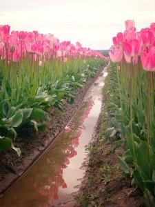 washington-tulips