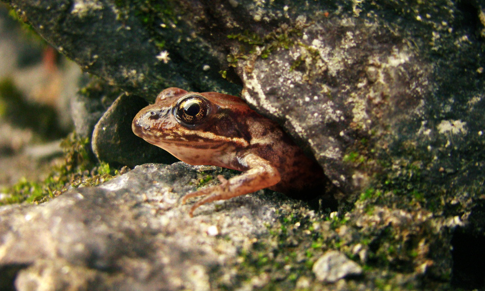 stone-frog-web